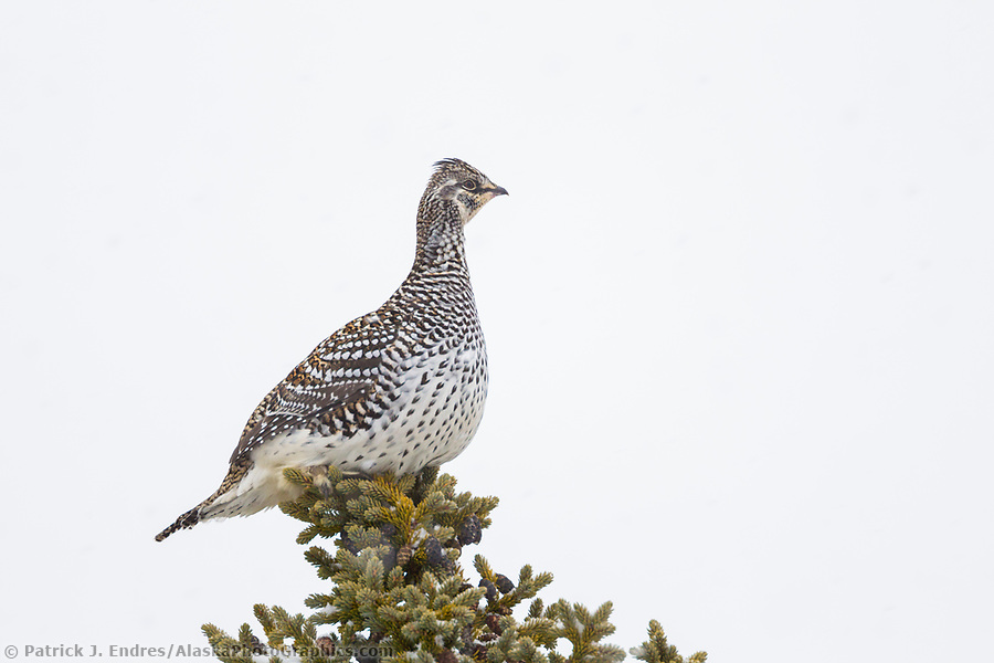 Sharp-tailed grouse perched on the top of a black spruce tree in Alaska's arctic. (Patrick J. Endres / AlaskaPhotoGraphics.com)