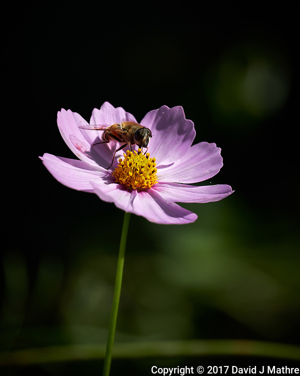 Bee on a pink Cosmos flower. Autumn Backyard Nature in New Jersey. Image taken with a Fuji X-T2 camera and 100-400 mm OIS telephoto zoom lens. (David J Mathre)