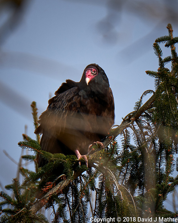 Turkey Vulture in a pine tree on a windy winter day. Image taken with a Fuji X-T2 camera and 100-400 mm OIS telephoto zoom lens (ISO 200, 400 mm, f/5.6, 1/680 sec). (David J Mathre)