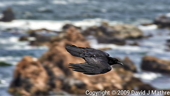 Raven in Flight. Image taken with a Nikon D3 camera and 80-400 mm VR lens. (David J Mathre)