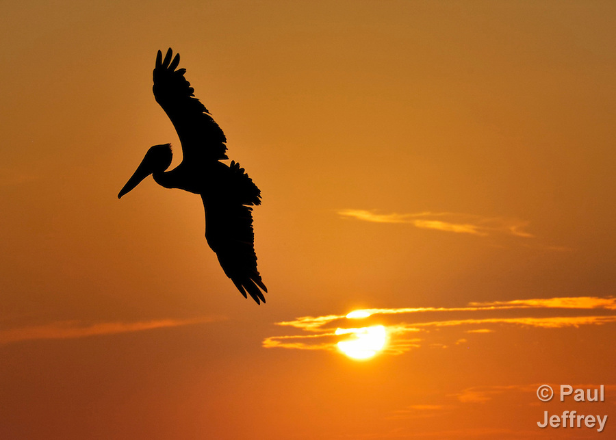 A brown pelican (Pelecanus occidentalis) flies in front of the setting sun off of Sandy Cay, near Utila in the Bay Islands off of Honduras' Caribbean coast.