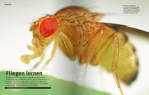 GEO magazine 01 2011 publishes Solvin's story on fruit flies - Drosophila melanogaster is one of the most studied organisms in biological research, particularly in genetics and developmental biology. 'Fliegen lernen' | Drosophila melanogaster - Ein winziges Wesen hilft der Forschung, die Geheimnisse des Lebens zu verstehen. Drosophila: Porträt einer Heldin im Labor. (Solvin Zankl)