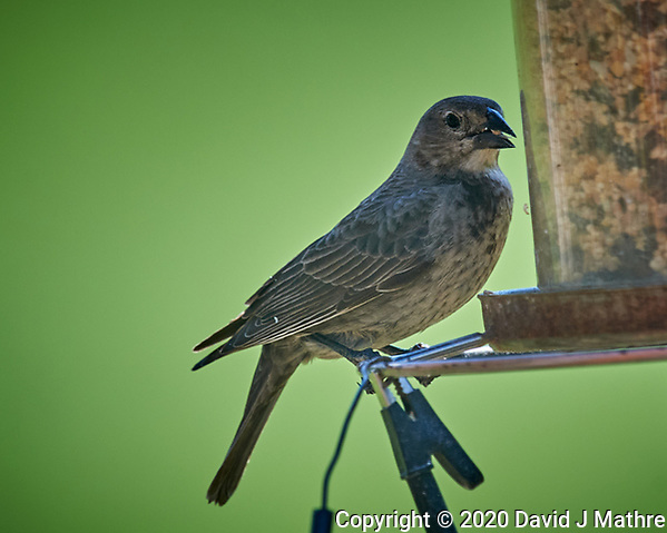 Female Brown-headed Cowbird at the bird feeder. Image taken with a Nikon D5 camera and 600 mm f/4 VR lens (ISO 640, 600 mm, f/5.6, 1/1250 sec) (DAVID J MATHRE)