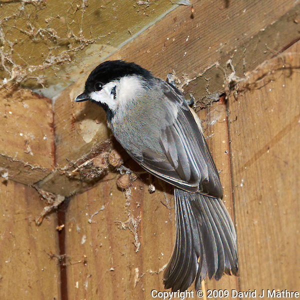 Black-capped Chickadee trying to keep warm. Image taken with a Nikon D300 and 18-200 mm VR lens (ISO 800, 200 mm, f/7, 1/60 sec, flash). (David J. Mathre)