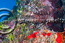 Lionfish, Pterois volitans, (Linnaeus 1758), Grand Cayman (StevenWSmeltzer.com)