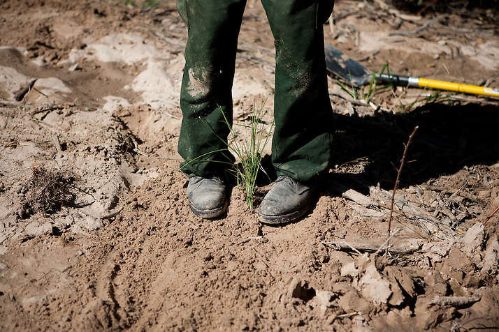 A forest worker tamps down dirt around a newly transfered plant in the Rio Grande Bosque just south of Española in Rio Arriba County. Santa Clara Pueblo has received $6,513,000 in stimulus funds to promote healthy forests and reduce hazardous fuels. (Steven St. John)