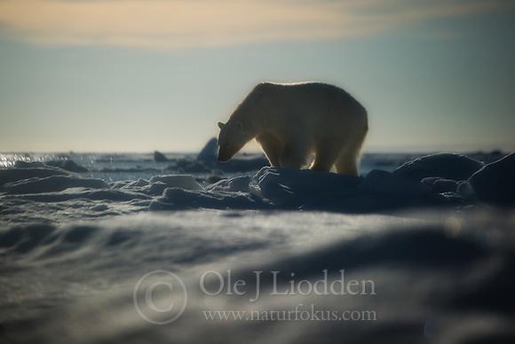 Polar bear (Ursus maritimus) in Svalbard (Ole Jørgen Liodden)