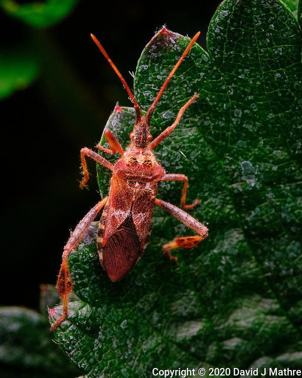 Western Conifer Bug on a strawberry leaf. Image taken with a Fuji X-T3 camera and 80 mm f/2.8 macro lens (ISO 3200, 80 mm, f/16, 1/125 sec) (DAVID J MATHRE)