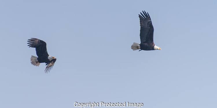A pair of Bald Eagles fly along the beach on Whidbey Island calling to each other. (Thomas Bancroft)