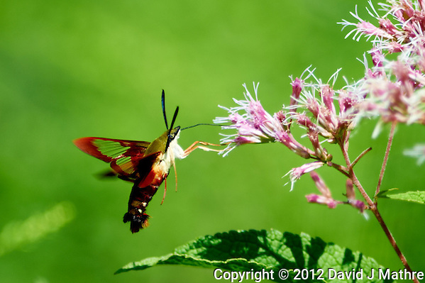 Clearwing Hummingbird Moth on a Joe Pye Weed Bloom. Summer Nature in New Jersey. Image taken with a Nikon D4 and 300 mm f/2.8 VR lens (ISO 100, 300 mm, f/2.8, 1/1000 sec). (David J Mathre)