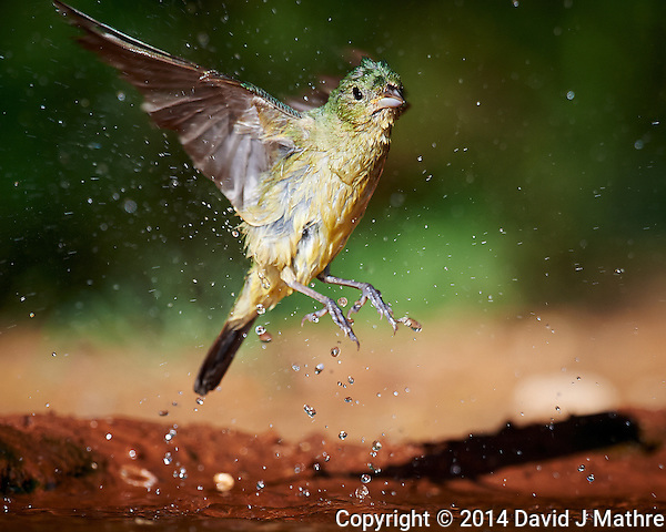 Female Painted Bunting Leaving After a Bird Bath at Dos Venadas Ranch in Southern Texas. Image taken with a Nikon D4 camera and 600 mm f/4 VR lens (ISO 500, 600 mm, f/5.6, 1/2000 sec). (David J Mathre)