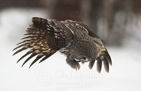 Great Grey Owl (Strix nebulosa), Lappland, Finland (Ole Jørgen Liodden)