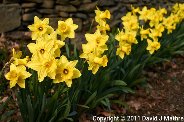 Daffodils in Bloom -- Three Days from Spring. Image taken with a Leica X1 (ISO 160, 24 mm, f/2.8, 1/1000 sec). (David J Mathre)
