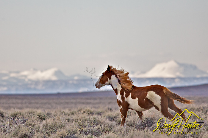 Running Wyoming Mustang in the wyoming desert by the Wind River Mountains