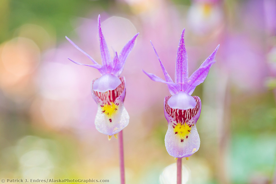 Alaska wildflower photos: Pink spring Fairy Slipper or Calypso Orchid blossom, Fairbanks, Alaska. (Patrick J Endres / AlaskaPhotoGraphics.com)