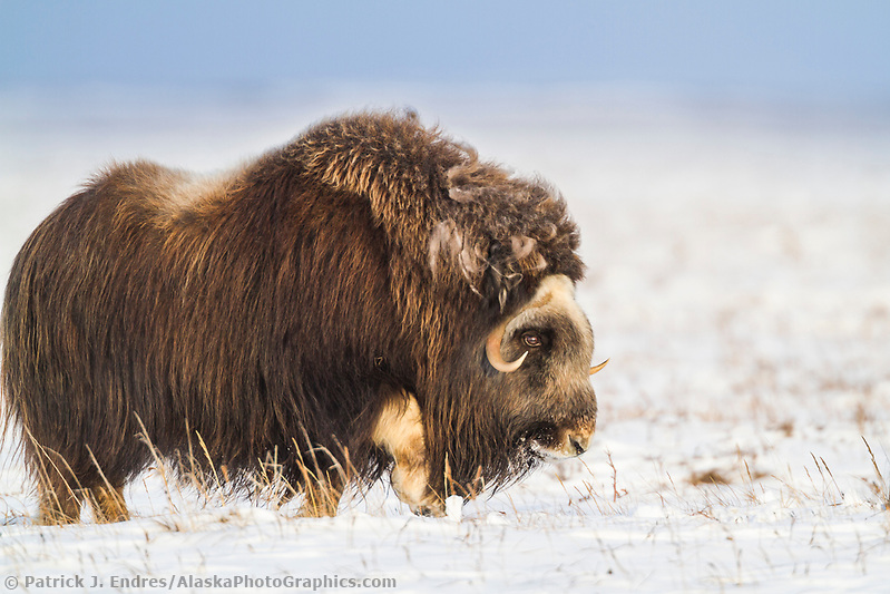 Muskox on the winter tundra in Alaska's arctic north slope (Patrick J. Endres / AlaskaPhotoGraphics.com)