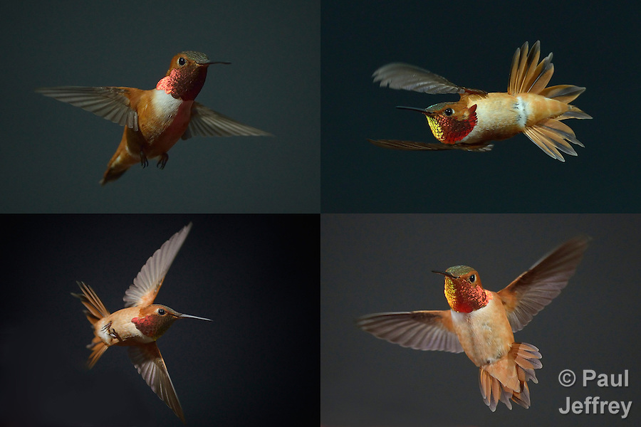 Composite image of male Rufous Hummingbirds (Selasphorus rufus) in flight on Whidbey Island, Washington. (Paul Jeffrey)