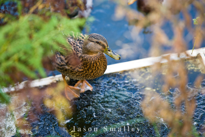 duck on a polluted pond (Jason Smalley)