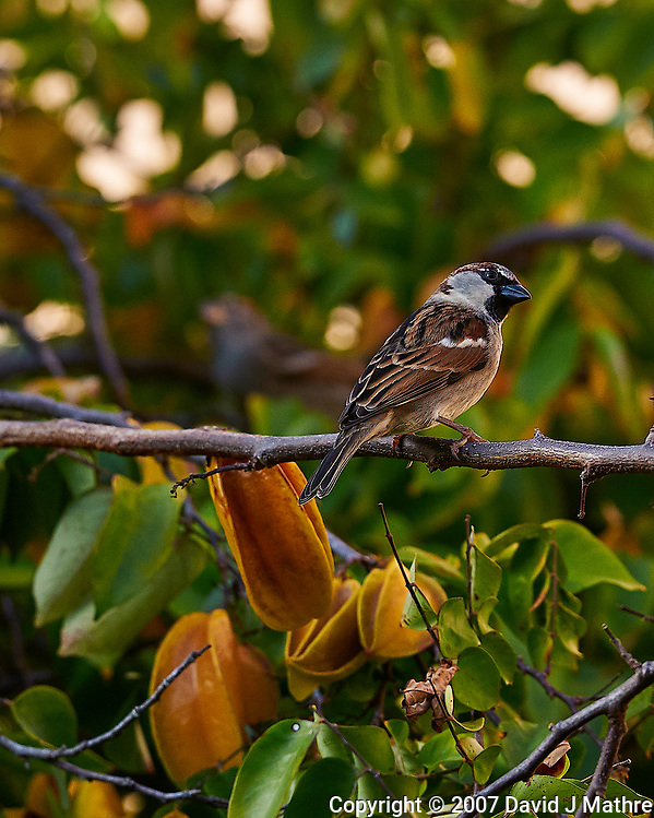 House Sparrow (?) on a Carambola Tree in St. Petersburg, Florida. Image taken with a Nikon D300 camera and 200 mm f/2 VR lens (ISO 100, 105 mm, f/11, 1/250 sec). (David J Mathre)