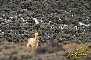 "Palomino Mustang, high desert, Farson, Wyoming (© Daryl Hunter's ""The Hole Picture""/Daryl L. Hunter)"
