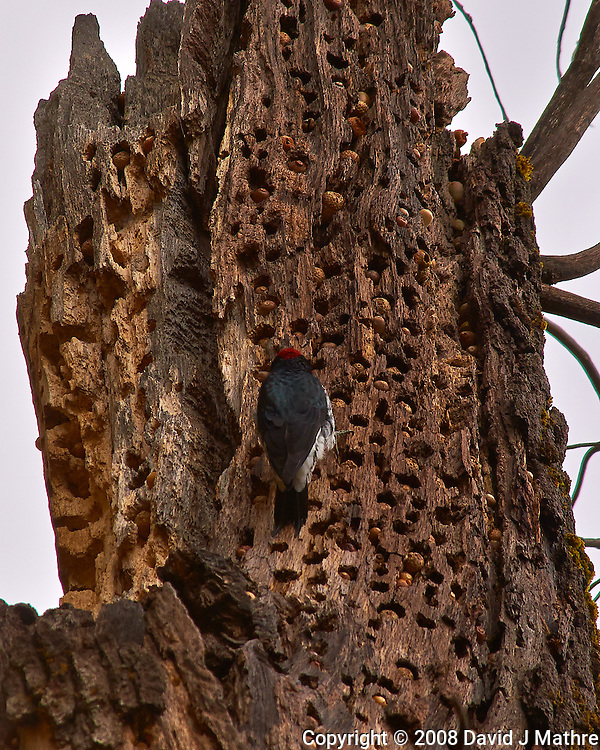Red-Headed Woodpecker Stashing Acorns and Pine Nuts in a Dead Tree. Yosemite Valley, Fall 2008. Image taken with a Nikon D300 camera and 80-400 mm VR lens (ISO 200, 400 mm, f/8, 1/320 sec). (David J Mathre)
