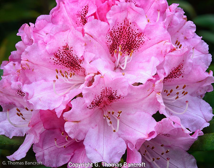 The pink rhododendron had large clusters of flowers on the ends of each branch.  This created quite the show.  I was intriqued by the detail in each flower. (G. Thomas Bancroft)