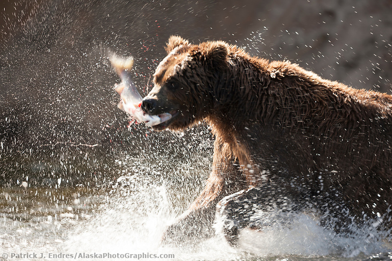 Brown bear lunge fishes for red salmon in the Brooks river, Katmai National Park, southwest, Alaska. Ⓒ Patrick J. Endres / AlaskaPhotoGraphics.com