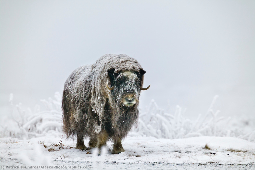 Muskox with snow-covered qiviut stands on the snowy tundra of Alaska's Arctic North Slope. (Patrick J. Endres / AlaskaPhotoGraphics.com)