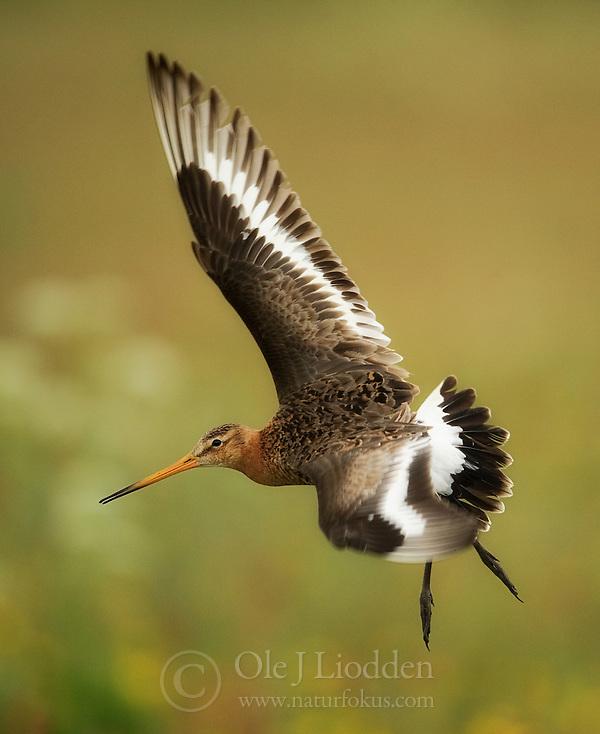 Black-tailed Godwit (Limosa limosa) (Ole Jørgen Liodden)