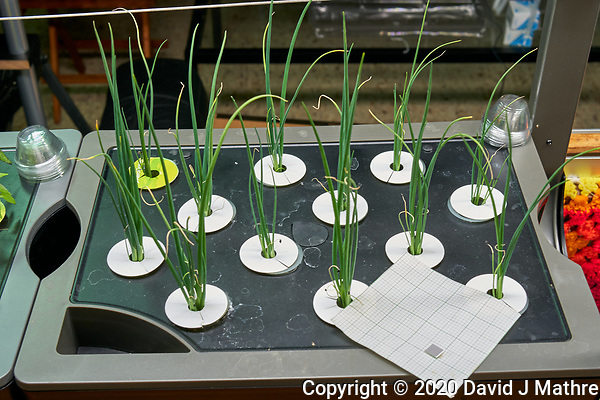 AeroGarden Farm 04-Right. Bunching Onions (all 12 positions) at 28 days. Image taken with a Leica TL-2 camera and 35 mm f/1.4 lens (ISO 320, 35 mm, f/8, 1/30 sec). (DAVID J MATHRE)