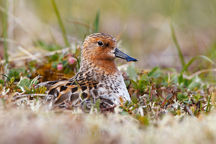 Adult male Spoon-billed Sandpiper incubating a nest.  This is the only nest the team found that was not collected for the captive breeding program and the first nest ever filmed. Chukotka, Russia. July. (Gerrit Vyn)