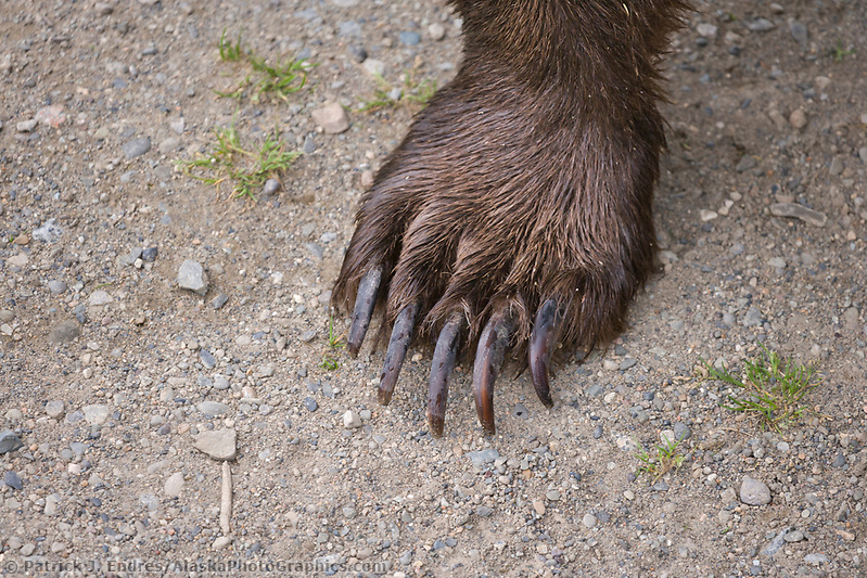 Brown bear photos: Brown bear claws, Katmai National Park, southwest, Alaska. Ⓒ Patrick J. Endres / AlaskaPhotoGraphics.com