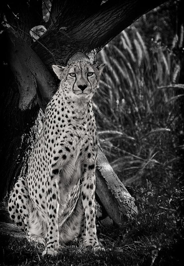 Cheetah at the San Diego Safari Park (Doug Oglesby)