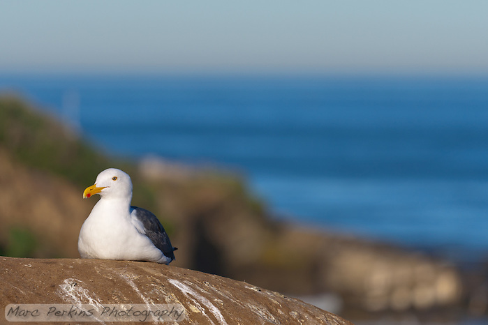 This western gull (Larus occidentalis) is sitting on a rock in front of a coastal cliff with the blue ocean and sky visibile blurred in the background.  Getting the proper exposure to bring out the detail in their white feathers was non-trivial! (Marc C. Perkins)