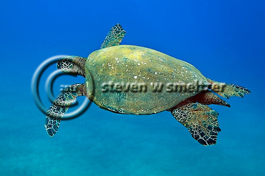 Green Sea Turtle, (Steven Smeltzer)