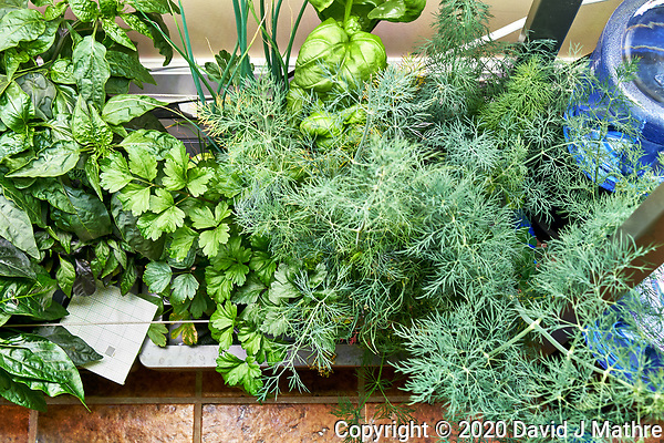 AeroGarden Farm 02-Right. Herb Plants - Basil, Dill, Parsley (136 days). Image taken with a Leica TL-2 camera and 35 mm f/1.4 lens (ISO 640, 35 mm, f/8, 1/30 sec). (DAVID J MATHRE)