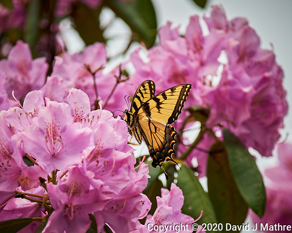 Tiger Swallowtail Butterfly feeding on Rhododendron flowers. Image taken with a Nikon Df camera and 70-300 mm lens (ISO 500, 300 mm, f/5.6, 1/1250 sec). (DAVID J MATHRE)