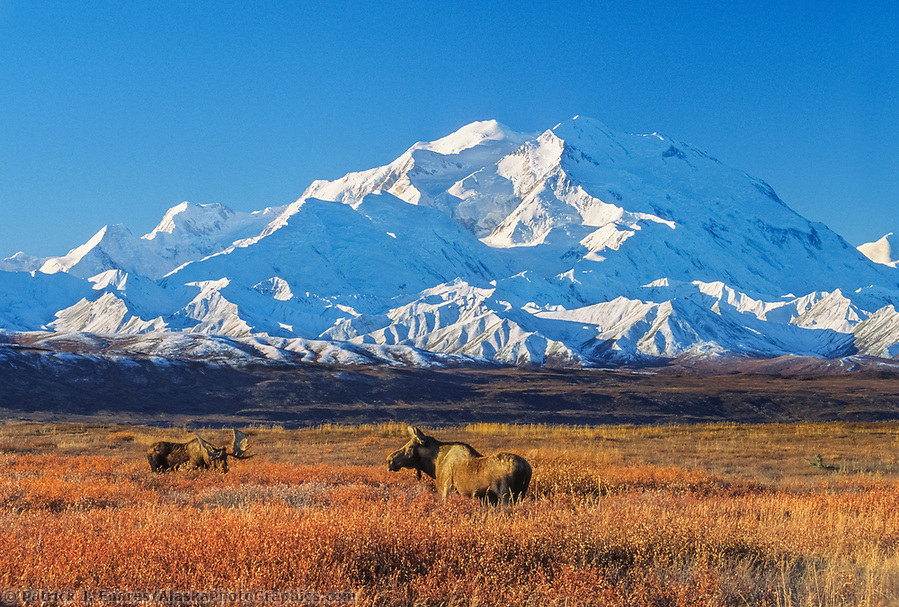 20, 3020+ Ft. Mt. Denali, Bull And Cow Moose In Autumn Tundra Grasses, Denali National Park, Alaska (Patrick J. Endres / AlaskaPhotoGraphics.com)