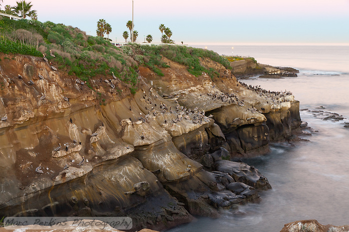 This long exposure image taken before dawn on a calm morning at La Jolla Cove shows hundreds of nesting pelicans sitting on the coastal cliffs above the ocean.  Palm trees and the ocean define the horizon. (Marc C. Perkins)