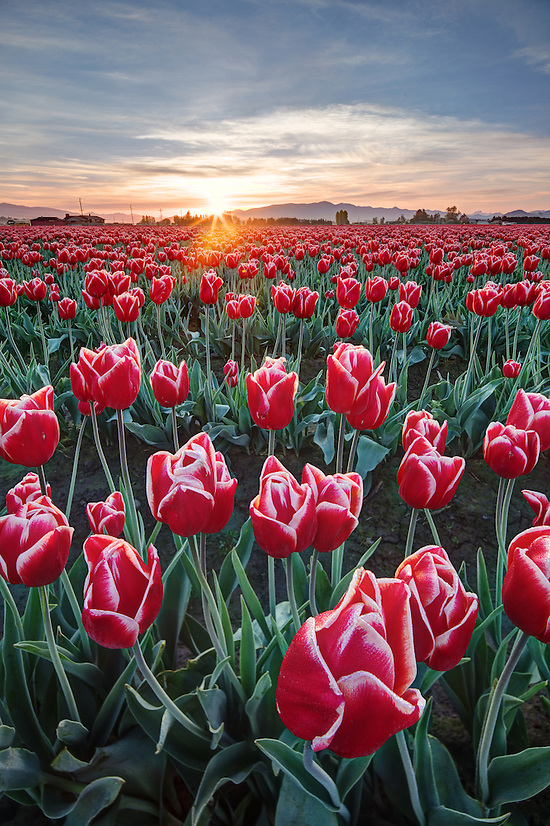 Rows of red and white tulips, Mount Vernon, Skagit Valley, Skagit County, Washington, USA (Brad Mitchell)