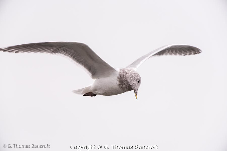 A glaucous-winged gull cruzes along the beach at Mukilteo Lighthouse. (G. Thomas Bancroft)