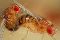 Mating Fruit Fly (Drosophila melanogaster) in a lab culture (wild type) |  Nach einer Umwerbung durch das Männchen läßt dieses Taufliegen-Weibchen (Drosophila melanogaster) des Wildtyp-Zuchtstammes die Begattung zu. Während der mehrere Minuten dauernden Paarung bieten die Vorderbeine und die Verbindung der beiden Geschlechtsöffnungen dem Männchen Halt auf dem Hinterleib des Weibchens. (Solvin Zankl)