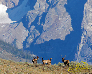 Elk herd in the Grand Tetons