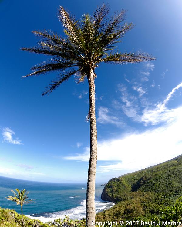 Palm Tree at Waipi�o Valley.Trail Overlook. Big Island Hawaii. Image taken with a Nikon D2xs and 10.5 mm f/2.8 fisheye lens. (David J. Mathre)