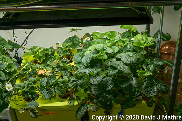 Hydroponic Tub 07-08. Strawberry Plants (85 days). Image taken with a Leica TL-2 camera and 35 mm f/1.4 lens (ISO 200, 35 mm, f/8, 1/50 sec). (DAVID J MATHRE)