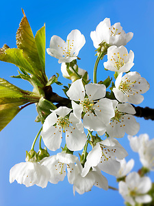 Stock Photos of close up of cherry blossom on a cherry tree. Funky stock photos library (By photographer Paul Williams. http://www.funkystock.eu)