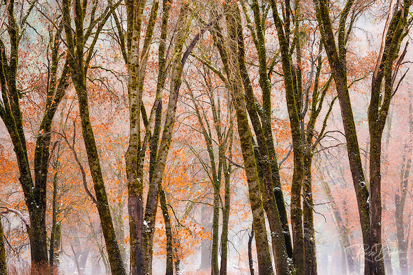 Black oaks in winter, Yosemite Valley, Yosemite National Park, California USA (© Russ Bishop/www.russbishop.com)