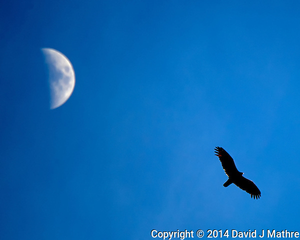 Turkey Vulture Soaring Under a Spring Moon. Backyard Spring Nature in New Jersey. Image taken with a Nikon Df camera and 80-400 mm VRII lens (ISO 140, 400 mm, f/5.6, 1/1600 sec). (David J Mathre)