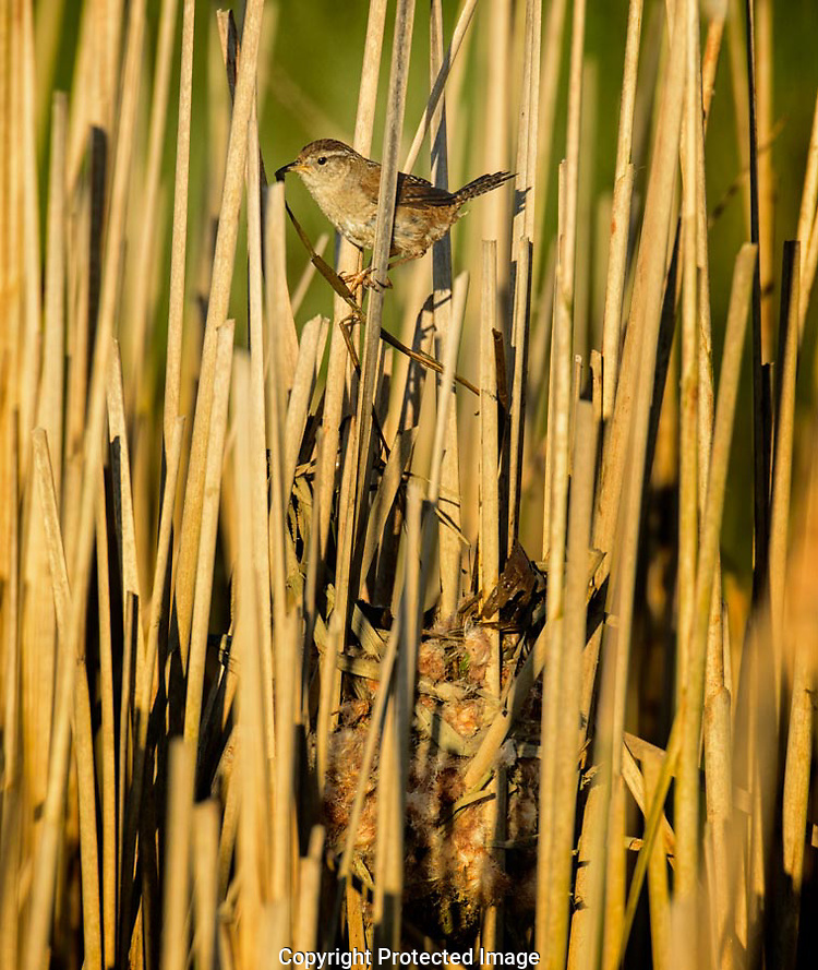The Marsh Wren flew up from the water with a wet cattail leaf in its bill.  It paused briefly before dropping into its nest where it proceeded to weave the leave into the wall of the nest. (G. Thomas Bancroft)