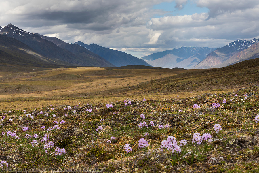 Parry's wallflower on the tundra in the continental divide of the Brooks Range, Gates of the Arctic National Park, Alaska. (Patrick J Endres / AlaskaPhotoGraphics.com)